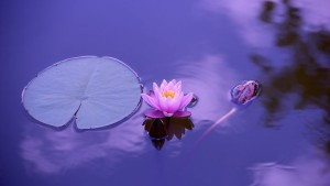 lotus-1205631__480